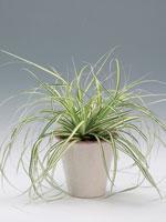 Japansk starr, Carex morrowii