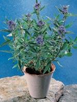Skäggbuske, Caryopteris x clandonensis