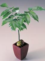 Bönträd, Castanospermum australe