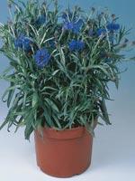 Klint, Centaurea cyanus