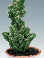 Pelarkaktus, Cereus peruvianus