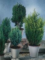 Ädelcypress, Chamaecyparis