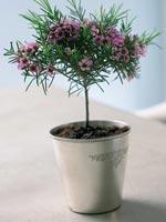 Tallmyrten, Vaxblomma, Chamelaucium uncinatum