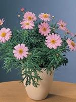 Margerit, Chrysanthemum frutescens