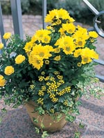 Chrysanthemum x morifolium syn. Chrysanthemum indicum hybrid
