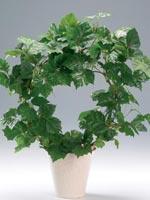 Kungscissus, Cissus rhombifolia