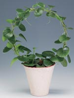 Vaxcissus, Cissus rotundifolia