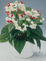 Brokklerodendrum, Clerodendrum thomsoniae