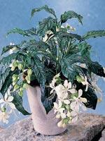 Slöjklerodendrum, Clerodendrum wallichii