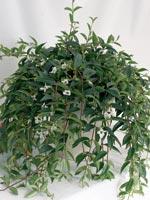 Tjockbladig myrranka, Codonanthe crassifolia