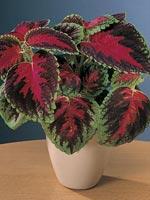 Palettblad, Solenostemon scutellariodes