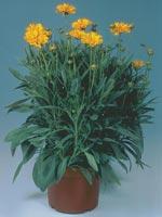 Flicköga, Höstöga m.fl. Coreopsis grandiflora