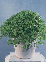 Grönkotula, Leptinella dioica syn. Cotula dioica