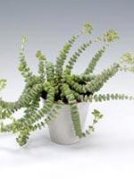 Trollhalsband, Crassula rupestris ssp. marnieriana