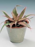 Bandblad, Cryptanthus bivittatus
