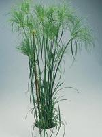 Parasollsäv 'Zumula', Cyperus cyperoides