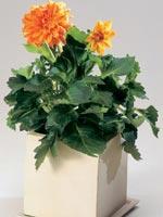 Dahlia, Dahlia hybrid
