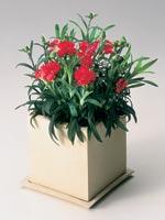 Trädgårdsnejlika, Dianthus caryophyllus 'Tenerifa'