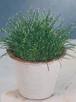Nålsäv, Nålgräs, Eleocharis acicularis