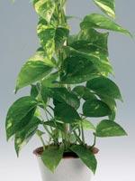 Gullranka, Epipremnum pinnatum