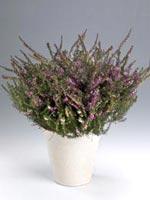 Ljung, Erica x hybrida syn. Erica x darleyensis