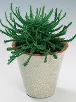 Medusahuvud, Euphorbia caput-medusae