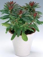 Söttörel, Euphorbia dulcis