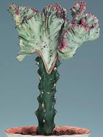 Marmoreuforbia, Euphorbia lactea