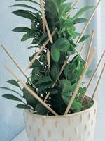 Trekantseuforbia, Euphorbia trigona