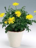 Margeritbusksköna, Euryops chrysanthemoides