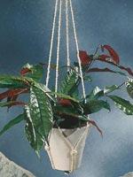 Burgunderbuske, Excoecaria cochinchinensis