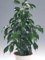 Benjaminfikus 'Natascha', Ficus benjamina
