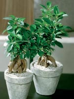 Citronfikus, Ficus microcarpa