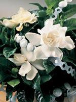Gardenia, Gardenia jasminoides