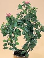 Korsgrevia, Grewia occidentalis