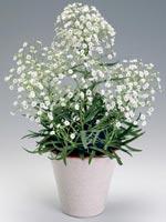 Brudsslöja, Gypsophila paniculata