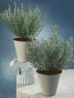 Curryeternell, Helichrysum italicum
