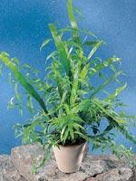 Rembuske, Homalocladium platycladum