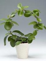 Australisk porslinsblomma, Hoya australis