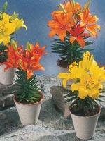 Lilja, Lilium-hybrid