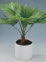 Serdangpalm, Livistona rotundifolia