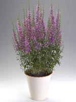 Smalt fackelblomster, Lythrum virgatum