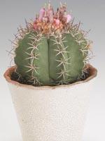 Daggmelonkaktus, Melocactus azureus