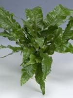 Krokodilormbunke, Microsorum musifolium