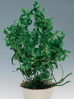 'Green Wave'®, Microsorum scolopendrium