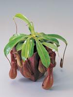 Kannranka, Nepenthes alata