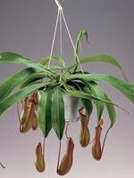 Kannranka, Nepenthes-hybrid
