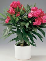 Nerium, Nerium oleander