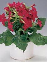 Stor blomstertobak, Vit blomstertobak, Nicotiana alata