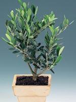 Olivträd, Olea europaea